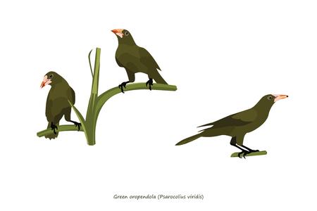omnivore animal: Green Oropendola Illustration
