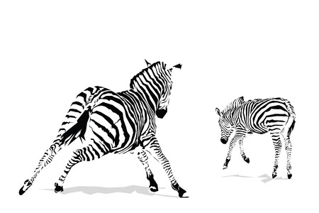 Galloping zebras illustration on white