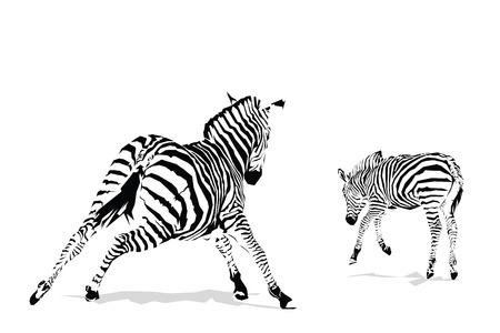 chapmans: Galloping zebras illustration on white