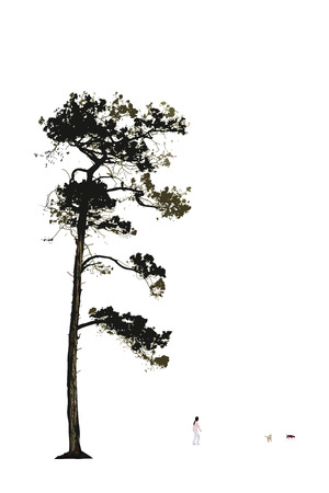 tall tree: Illustration of old pine tree on white