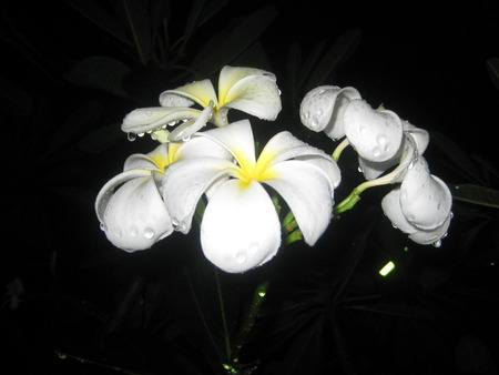 Plumeria flowers and water drop close up in the dark.