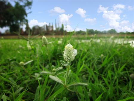 Weed of  Gomphrena celosioides, Wild flower asian herb, Wild globe overlasting, Floral in garden close up.