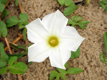 convolvulaceae: Goats Foot creeper, Beach Morning Glory or Ipomoea, White flower close up with green leaves on the ground at the beach. Stock Photo