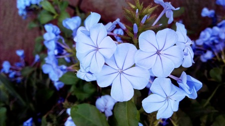 close uo: Close uo the group of white plumbago or cape leadwort purple flowers ( Plumbago auriculata ) and green leaves, Stock Photo