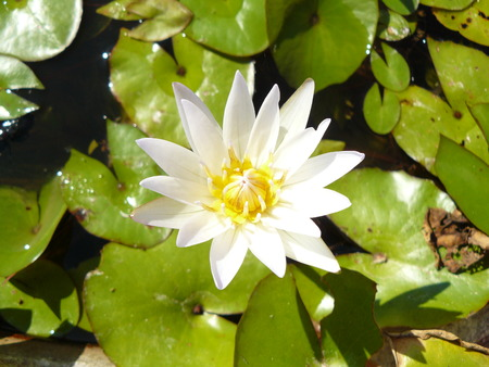 Close up of the asian white water lily or lotus with green lily pads in sunlight on the water. Stock Photo