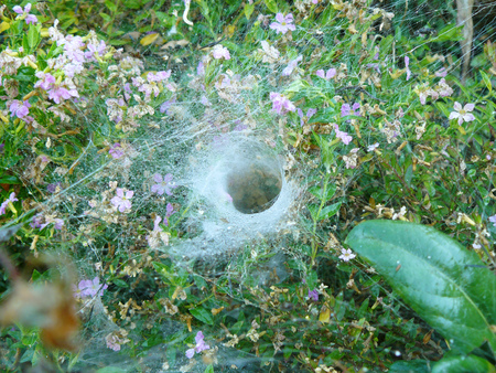 eight legs: Close up of funnel weaving grass spider deep inside the tunnel, On flower heather in the garden.