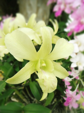 Beautiful orchid. Yellow Dendrobium sonia (Orchidaceae) close up from plant on wooden background.