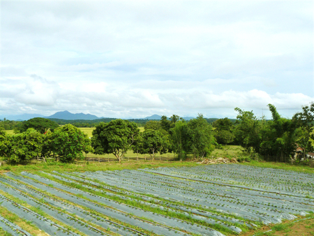 Landscape of strawberry farm in front of paddy fields and mountains in a cloudy day.