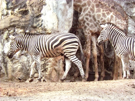 Plains zebra or Common zebra ( Equus quagga ) walking at their place in a public zoo