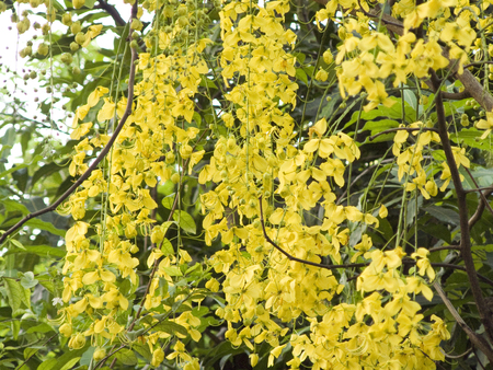 fistula: A photo of group of Golden shower flower or Cassia fistula yellow flower on the tree. Beautiful flower and green leaves for background.