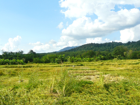 Landscape of golden rice field in harvest season in front of mountains and beautiful blue sky with white fluffy clouds. Can see a farmer reaping his crop alone in the sunlight. Stock Photo