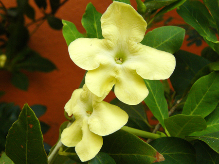 Close up of yellow flower Lady of The Night on the tree. ( Brunfelsia americana L. ) Beautiful flower and green leaves.