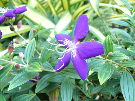 Close up of brazilian spider flower (Glory Bush or Lasiandra Princess Flower) and scientific names Tibouchina urvilleana (DC.) Cogn. Beautiful purple flower  and green leaves.