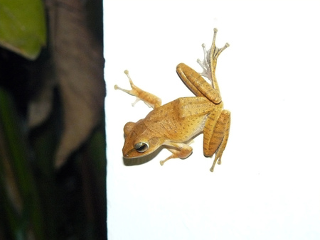 common hop: Close up of Asian natural Common tree frog or Golden tree  frog (Polypedates leucomystax) climbing on white wall of the house near by garden and natural tree.