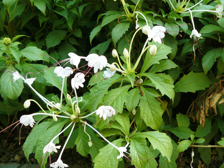mi: Close up group of white flower Do-Re-Mi Plant or Clerodendrum incisum Klotzsch var. macrosiphon. (Hook.f.) Beautiful flower and green leaves.