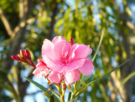 Close up soft pink sweet oleander flower or rose bay ( fragrant oleander, oleander, Nerium oleander L, Nerium indicum Mill ) and water drops on the petal and green in the sunrise. Stock Photo