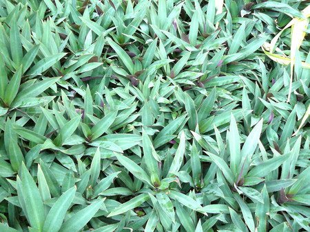venation: A Photo of Boat-lily, Oyster lily, Candle lily, White-flowered tradescantia, Oyster plant or Tradescantia spathacea Stearn. Close up leaves pattern for texture and background.