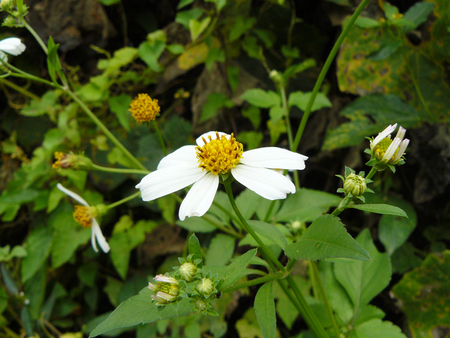 A photo background of group of Weed. The white small flowers Spanish needle or Broom stick ( Bidens pilosa L. ) The Asian herb floral close up.