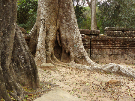 thom: Big root of very big tree growing covered the ruin of wall of Ta Prohm castle the palace of ancient Angkor Thom , Cambodia.