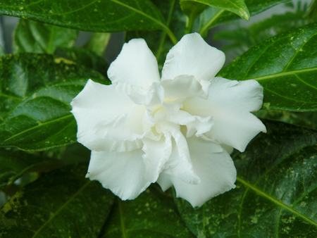 Close up of white Cape jasmine or Gardenia jasmine Flower ( Gardenia augusta (L.) Merr. ) Beautiful flower from and green leaves in the garden.