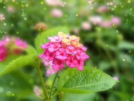 lantana: Close up of Lantana flower ( big-sage, wild-sage, red-sage, white-sage or Lantana camara L.) Beautiful small flower and green leaves.