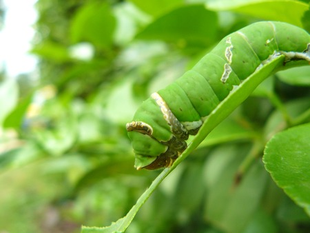 papilio demoleus: Catepillars of the Lime Butterfly (Papilio demoleus malayanus) eating green leaves of a lime tree.