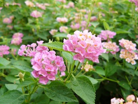 Close up of pink Lantana flower ( big-sage, wild-sage, red-sage, white-sage or Lantana camara L.) Beautiful small flower and green leaves.