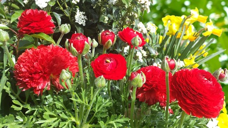 Close up of red Ranunculus asiaticus flower or Persian buttercup or Ranunculus from bouquet and green leaves in a sunny day