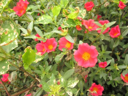 A photo of Green Purslane, Pussley or Purslane flowers ( Portulaca oleracea L. ) and green leaves, top view close up in the sunlight.