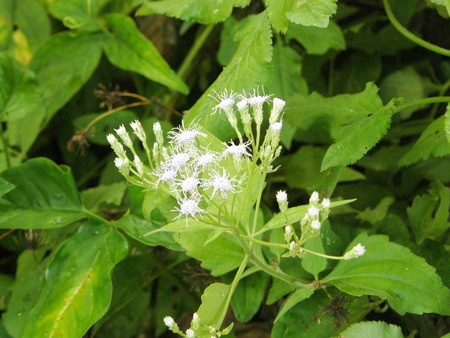 A photo of Camfhur grass flower (Siam weed, Bitter bush, Devil weed, Common floss flower, Triffid or Chromolaena odorata L. ) and green leaves on the tree in sunlight at the morning.