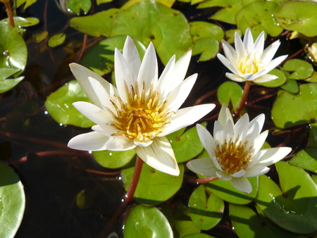 Close up of asian flower. White water lily or Lotus stem  ( Nymphaea pubescens Willd ) with green lily pads in sunlight on the water.