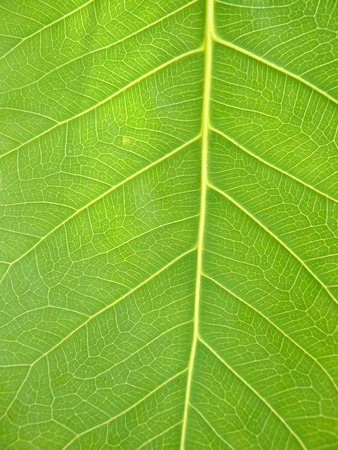 Close up of line detail on green leaf of Bodhi Tree or Ficus religiosa for texture background. Stock Photo