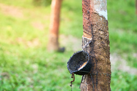 condones: Rubber tree (Hevea brasiliensis) produces latex. By using knife cut at the outer surface of the trunk. Latex like milk Conducted into gloves, condoms, tires, tires and so on.