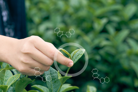 Infographics Circles and Molecular Structures the Asian woman hand picking up the tea leaves from the tea plantation,Water is a healthy food and drink .as background Healthcare concept with copy space