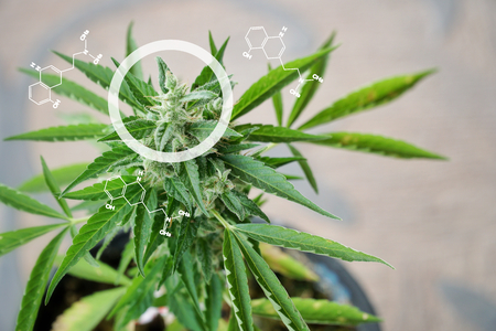 Infographics Circles and Molecular Structures The marijuana planted in a potted plant. Marijuana can be taken as a medicine for treatment. But if used in the wrong way, it could be addictive.
