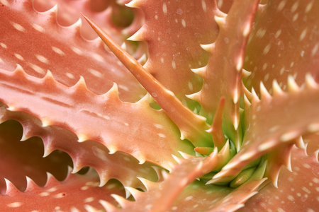 Aloe vera or Star cactus(Aloe barbadensis  Mill) Jelly in Aloe Vera leaves contain many chemicals. Aloe vera or mucus of aloe vera treats burns, hot water, chronic wounds and ulcers.