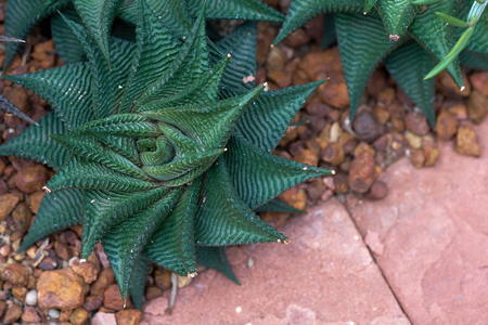 a xerophyte, called Zebra Fasciata Haworthia, a plant with stripes like a zebra. Cultivating on the soil In the glass house to achieve a constant temperature suitable for growth.