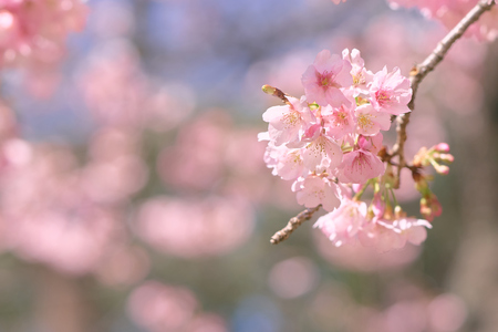 Pink cherry blossom(Cherry blossom, Japanese flowering cherry) on the Sakura tree. Sakura flowers are representative of Japanese flowers. The main part of the winter pass. I love everyone. Stok Fotoğraf