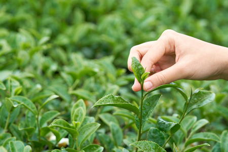 Asian woman hand picking up the tea leaves from the tea plantation, the new shoots are soft shoots. Water is a healthy food and drink. as background Healthcare concept with copy space.