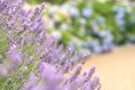 Purple lavender holds a bouquet in the middle of a beautiful flower. Lavender is a mixture of herbs into medicines. And extract the essential oil. Concept of medicine, treatment and health Stock Photo