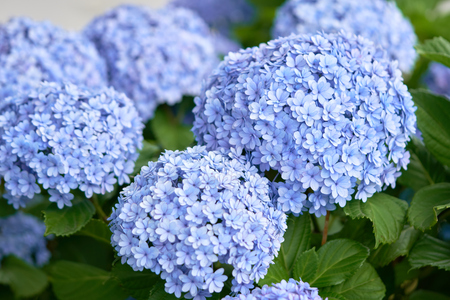 Closeup of green hydrangea (Hydrangea macrophylla) are blooming in spring and summer at a town garden. The Japanese call this