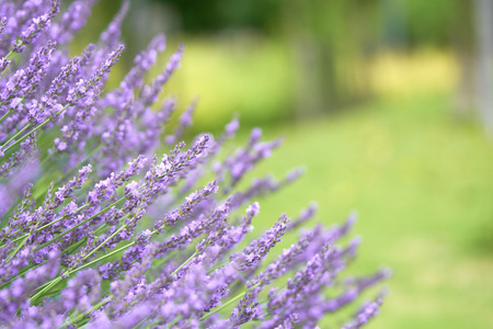Purple lavender holds a bouquet in the middle of a beautiful flower. Lavender is a mixture of herbs into medicines. And extract the essential oil. Concept of medicine, treatment and health Kho ảnh