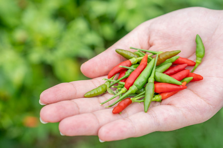 The farmers harvested the chili peppers. As a raw material for cooking, the spicy taste is popular among Asians. Foodstuffs are used as a mixture of traditional medicine, food concepts and health.