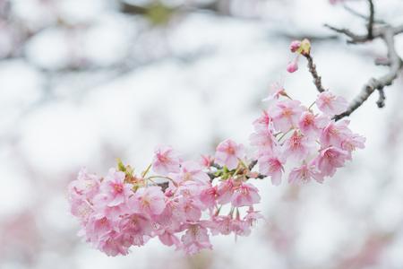 Pink cherry blossom(Cherry blossom, Japanese flowering cherry) on the Sakura tree. Sakura flowers are representative of Japanese flowers. The main part of the winter pass. I love everyone. Stok Fotoğraf