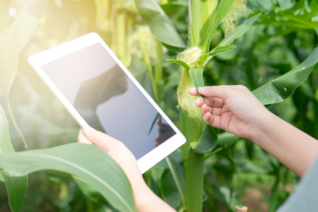 Farmer using digital tablet computer in cultivated Corn farm field checking quality by tablet agriculture modern technology Concept and agriculture concept.