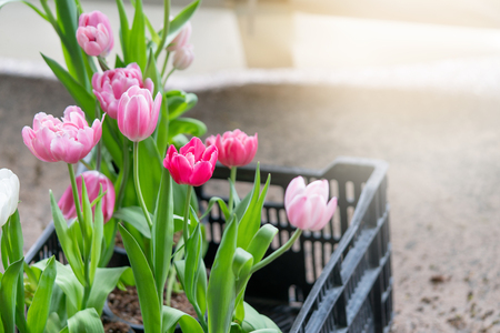 Bouquet of tulips (Tulipa spp. L.) with light through the window. Give a warm feeling to the garden. Gardening ideas in the home Flower