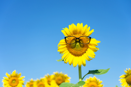 Sunflower (Helianthus annuus) Wearing black eye glasses. Sunflower blooming in the middle of the sunflower plantation Blaze in the background, bright sky Stok Fotoğraf