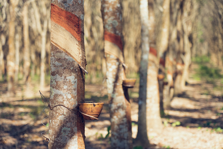 Rubber tree (Hevea brasiliensis) produces latex. By using knife cut at the outer surface of the trunk. Latex like milk Conducted into gloves, condoms, tires, tires and so on. Standard-Bild - 114603210