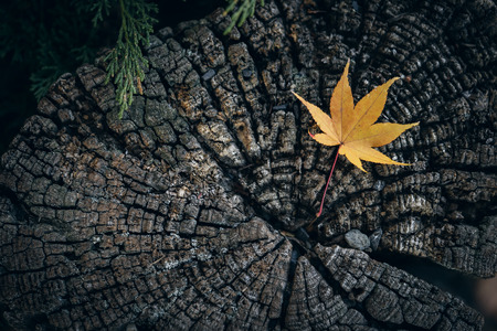 Dry maple leaves fall to the ground. The moss is densely covered throughout. Lonely Use images as background or scene.