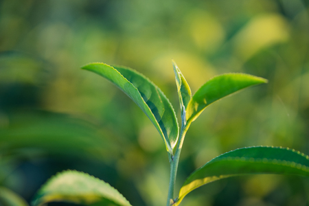 The tea leaves grow in the middle of the tea plantation.  the new shoots are soft shoots. Water is a healthy food and drink. as background Healthcare concept with copy space for your text or design Stock Photo